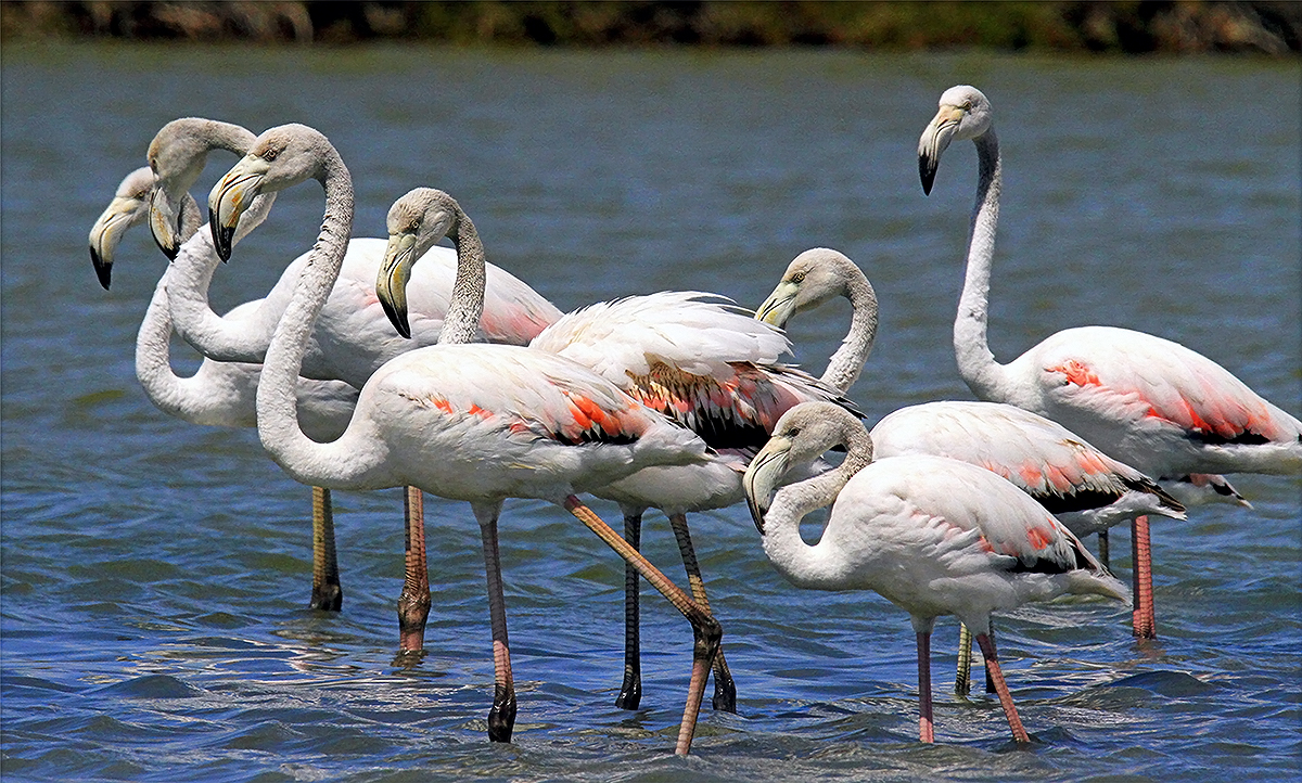 Saltpans of Tarquinia - Some splendid specimens of pink flamingoes (Picture by Massimo Biondi)
